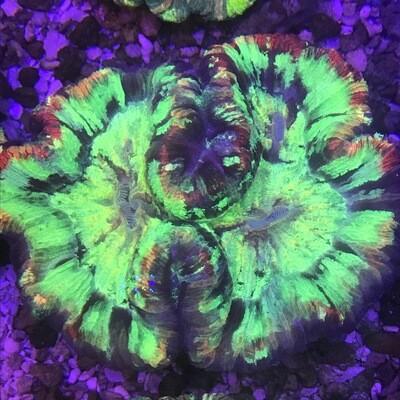 Wellosophyllia Radiata Bali Neon