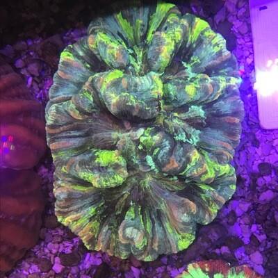 Wellosophyllia Radiata Rainbow 8