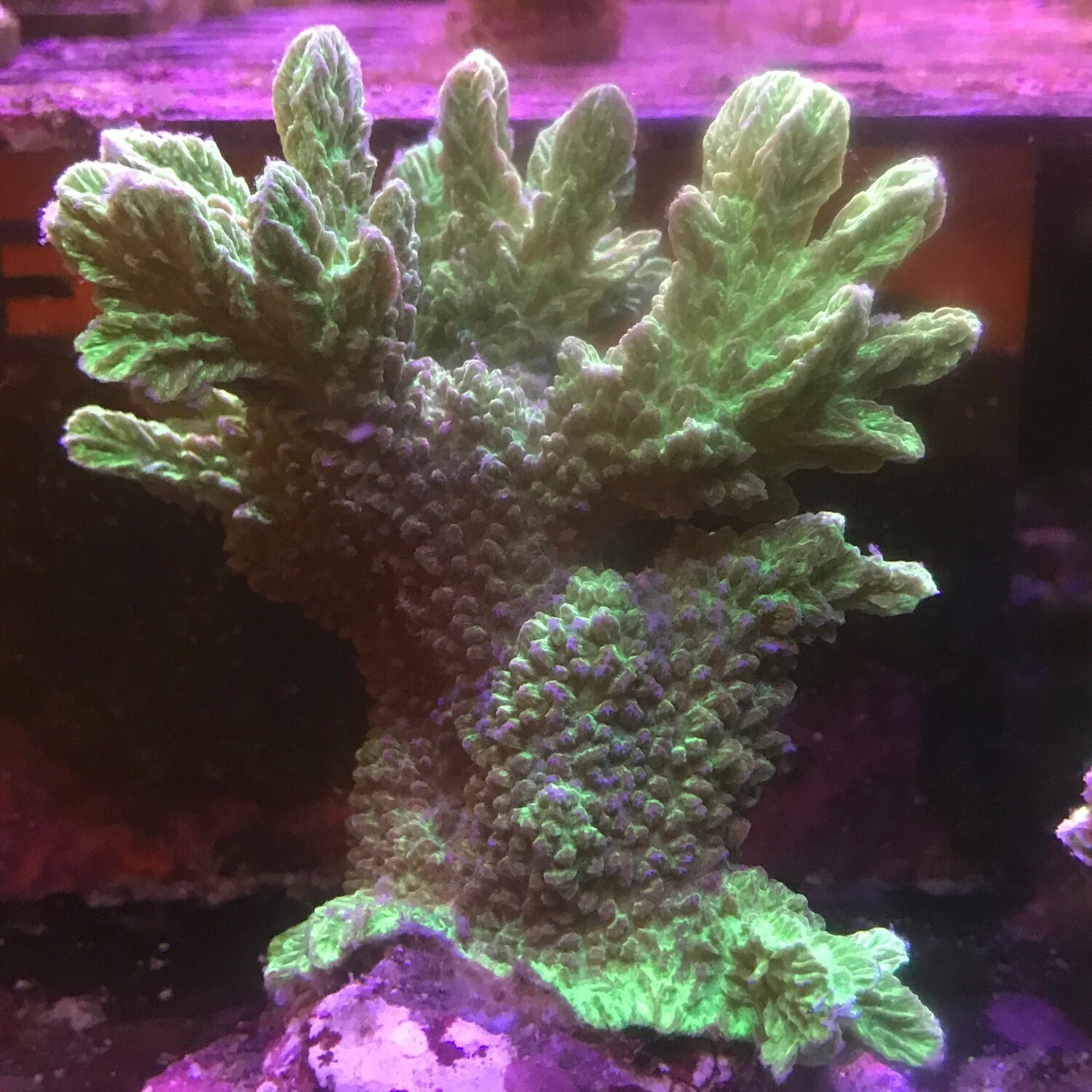 Horn Coral Metallic green Lg Colony