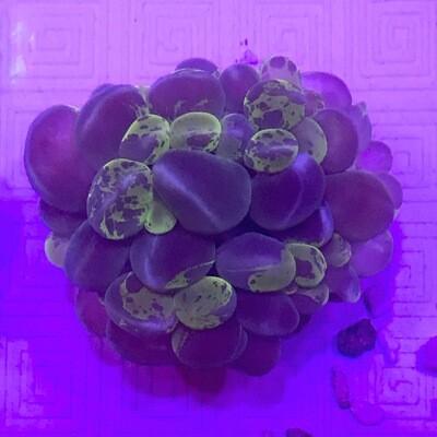 Bubble Coral Cats Eye Neon Splatter