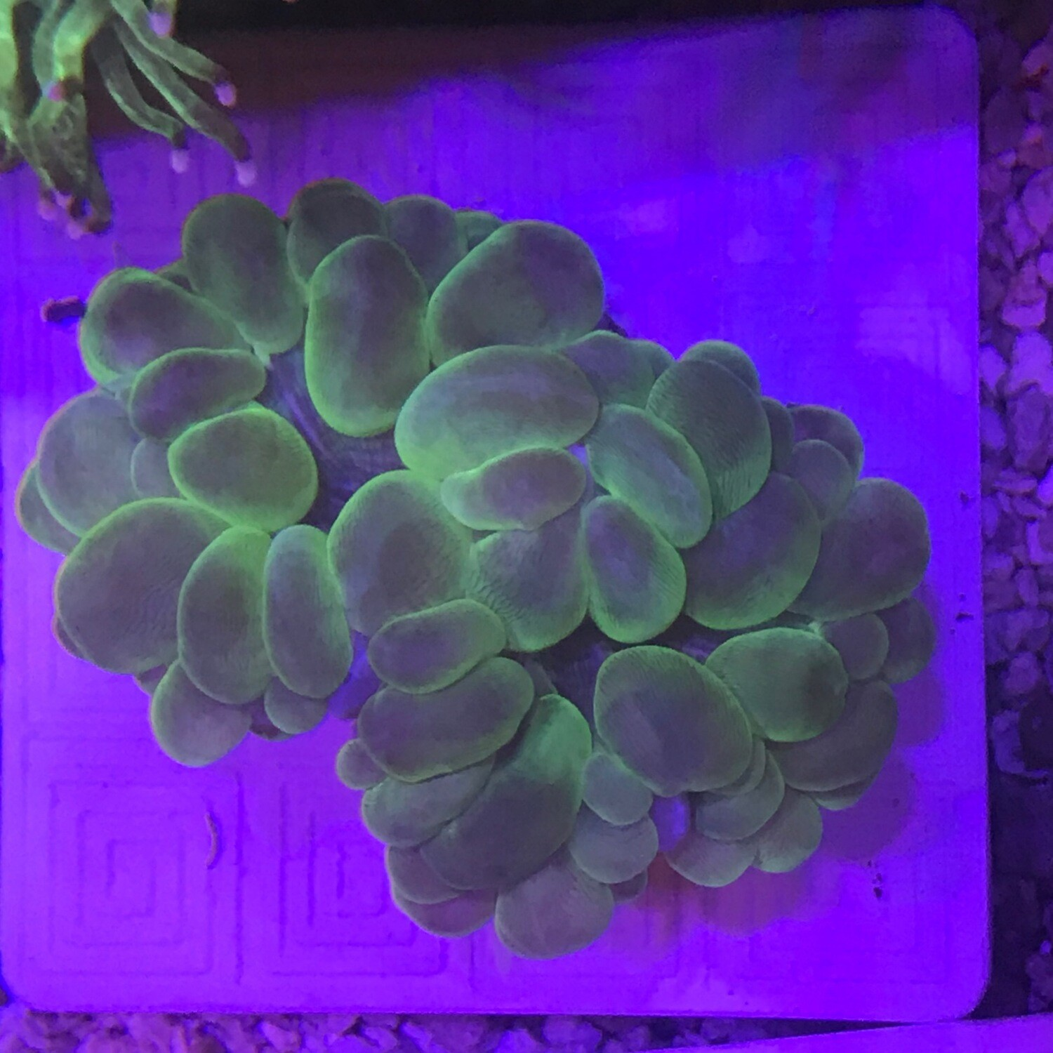 Bubble Coral Cats Eye Md