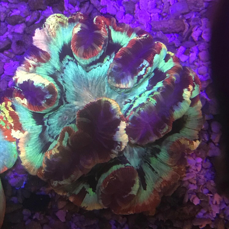 Wellosophyllia Radiata Ultra Rainbow