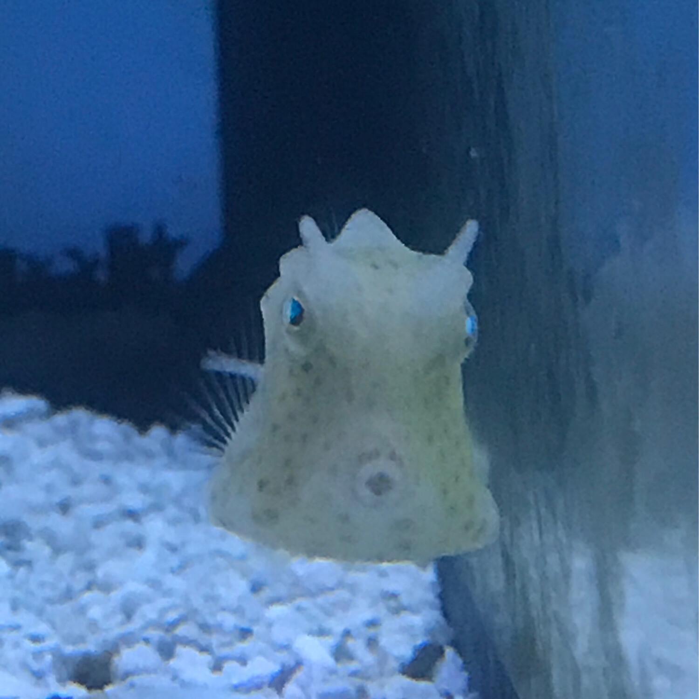 Scrawled Cowfish Juvenile