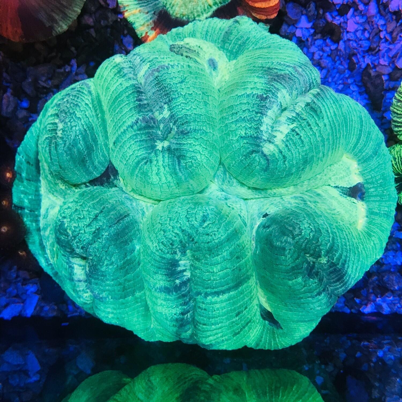 Trachyphyllia Geofroyi Bright Neon Lg