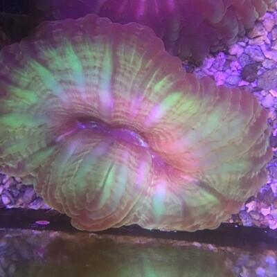 Cynarina Multicolour