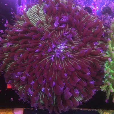 Fungi Plate Coral Lg