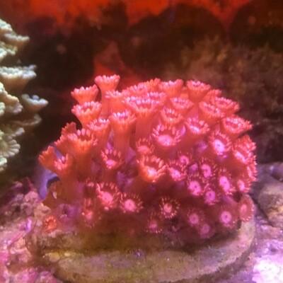 Pink Goniopora