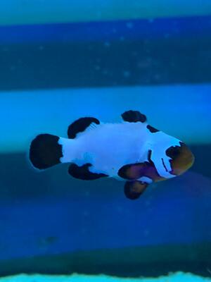 Black Ice Grade A Clownfish