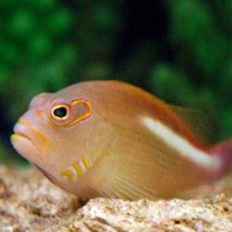 Tahiti Arc Eye Hawkfish