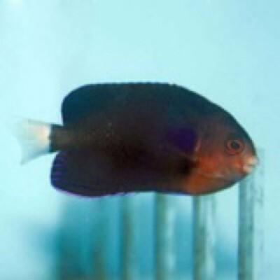 Whitetail Pygmy Angelfish