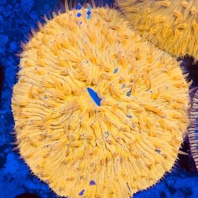 Fungi Plate Coral