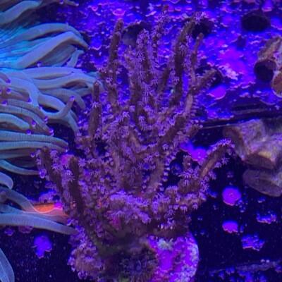 Purple Spiny Sea Rod