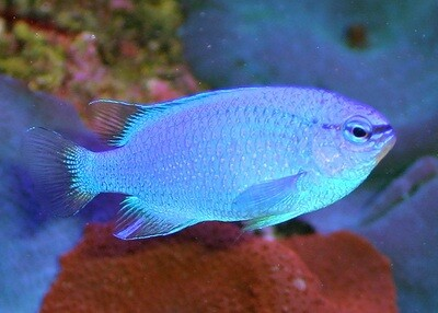 Blue Damsel Indo