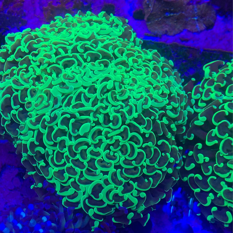 Wall hammer coral Metallic Lg