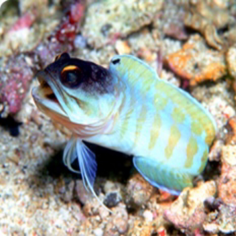 Tiger Jawfish (Bali)