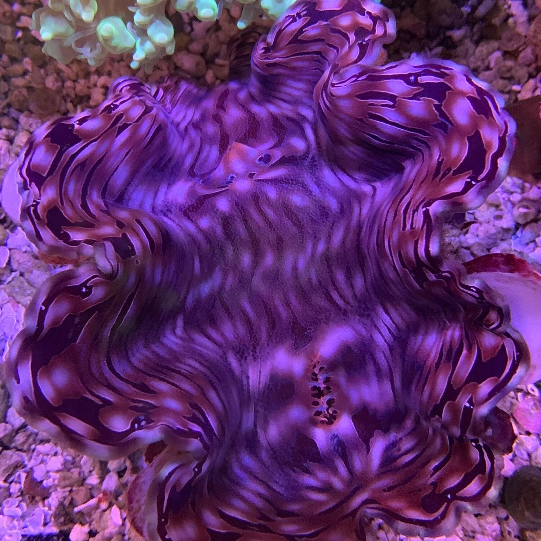 Squamosa Clam Violet/Purple