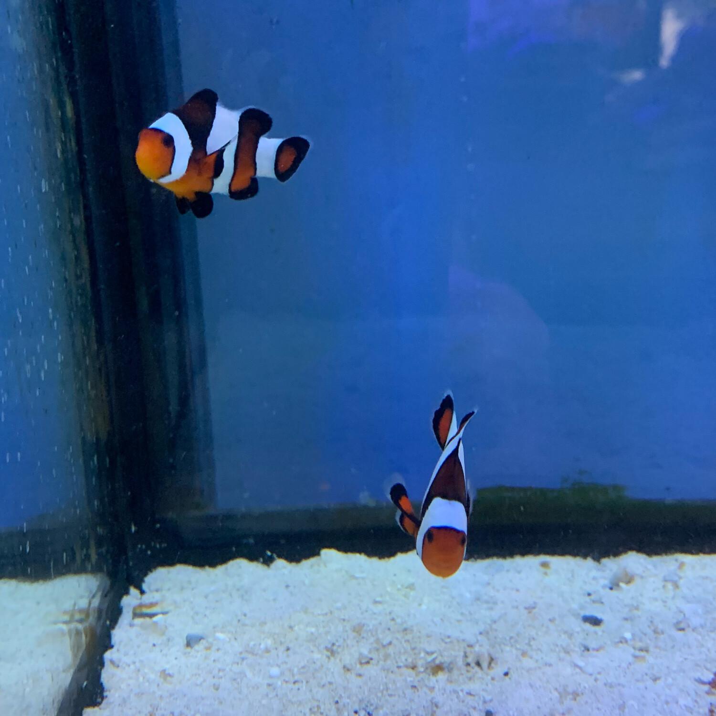 Paired Mocha Widebar Gladiator Clownfish Md-Lg