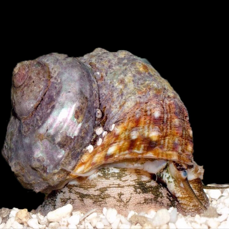 Vietnam Turbo Snail