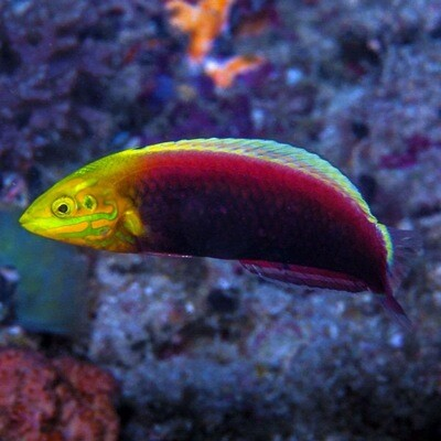 Radiant African Wrasse