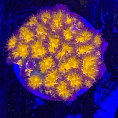 WWC Honeycomb Lepastrea
