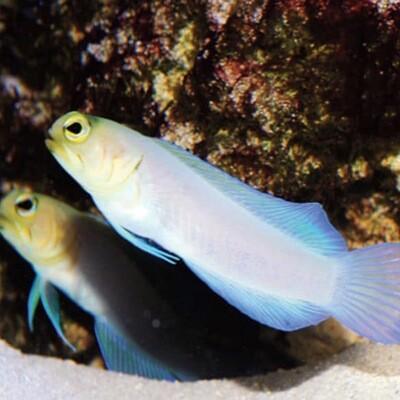 Pearly Yellowhead Jawfish