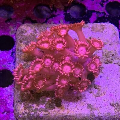 Pink Goniopora Flower pot