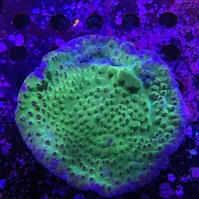 Metallic Scroll coral
