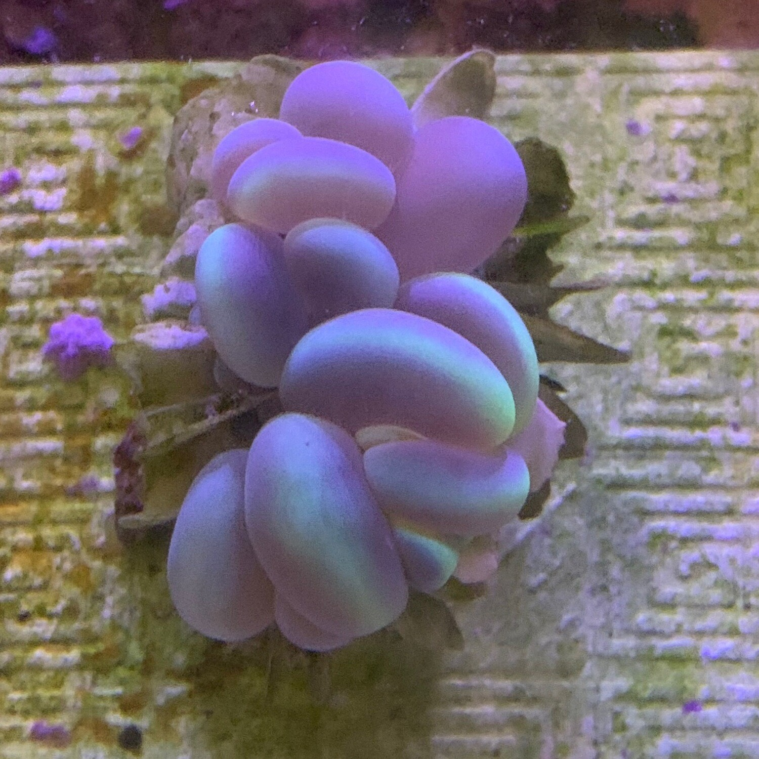 Cats Eye Bubble Coral Name Your Price