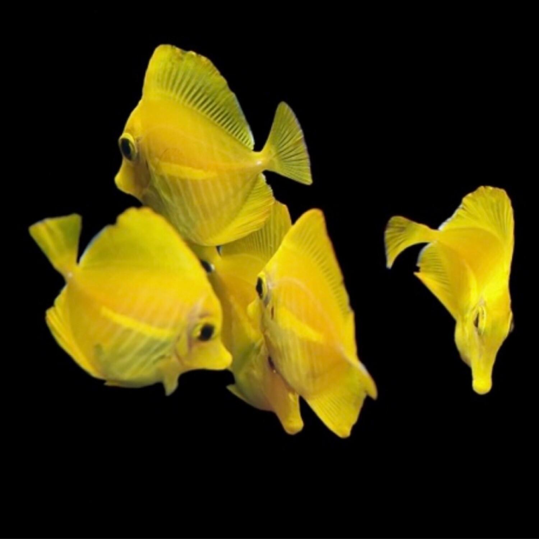Biota Captive Bred Yellow Tang