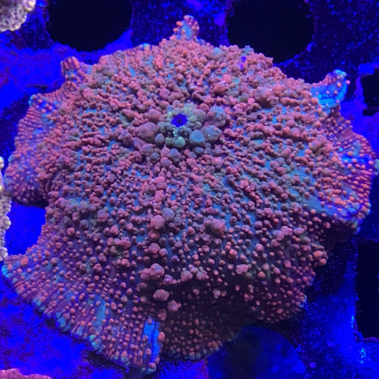 Intersteller splatter discoma mushroom Lg