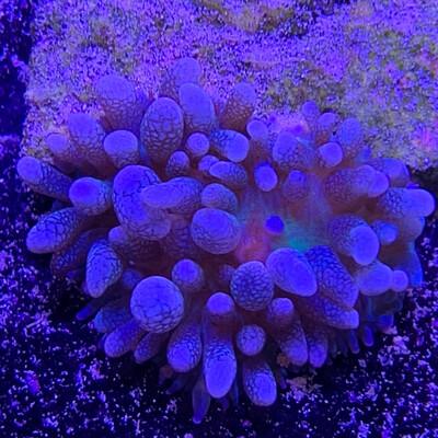 Corallimorph Mushroom