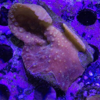 Yellow Scroll Coral frag