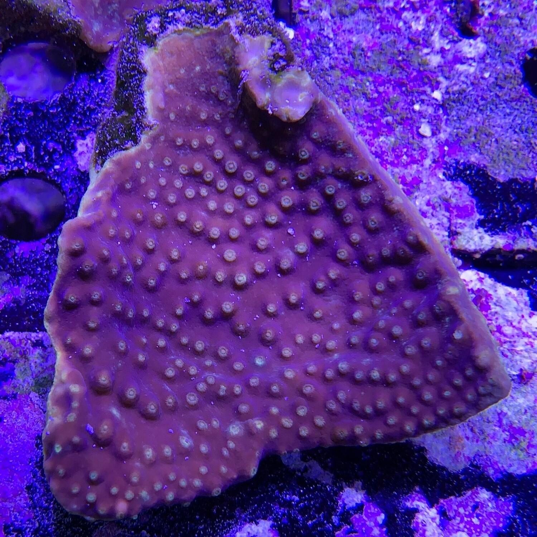 Yellow Scroll Coral Mini colony