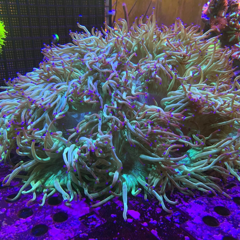Blue tip Elegance coral Extra Large