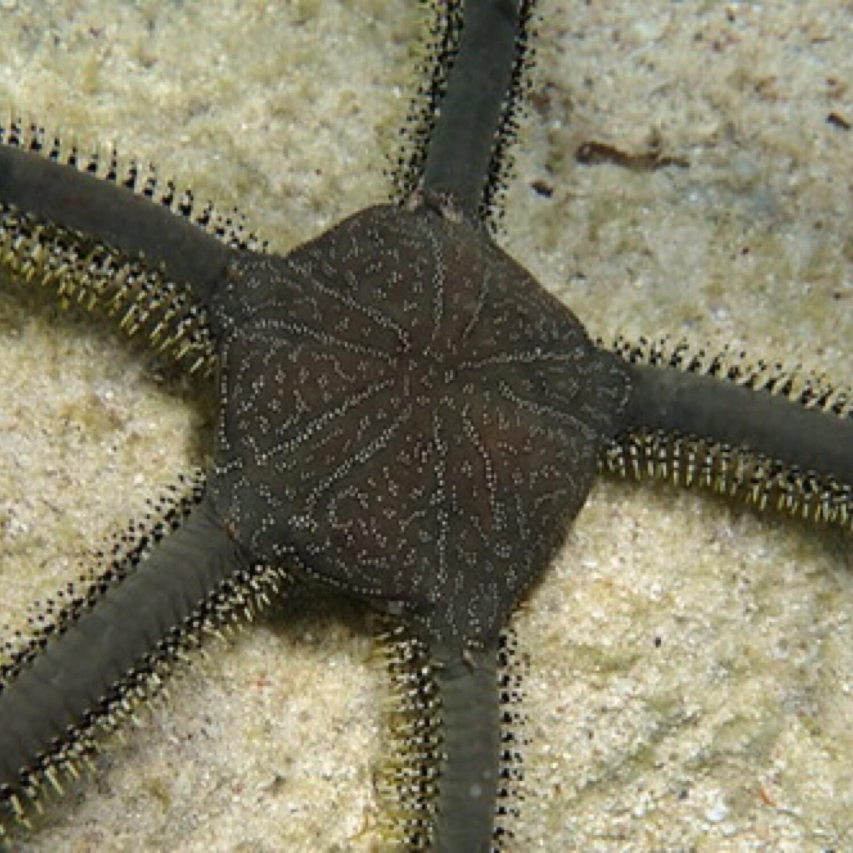 Green Brittle Starfish Lg