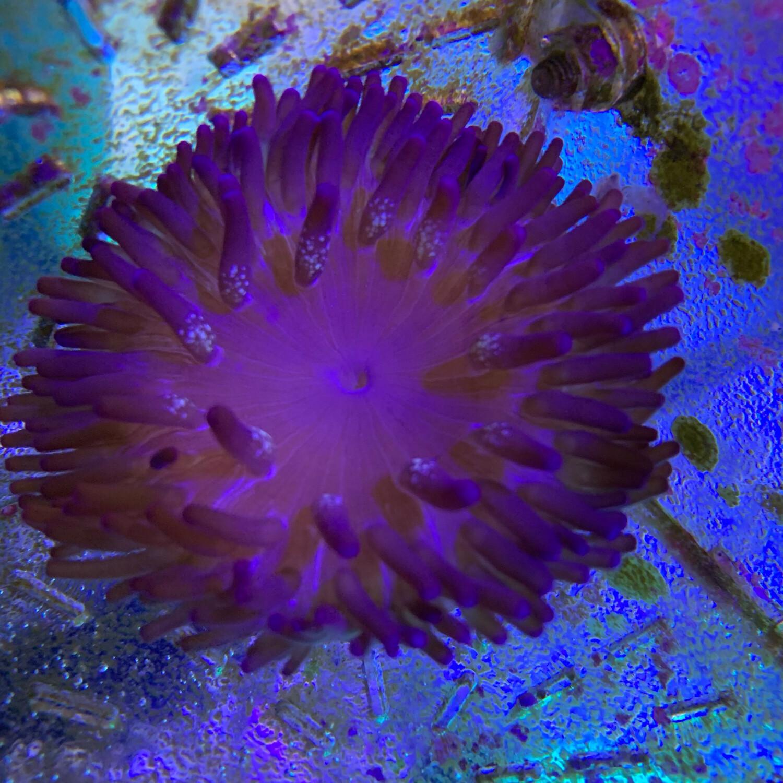 Purple Anemone Macrodactyla Doreensis
