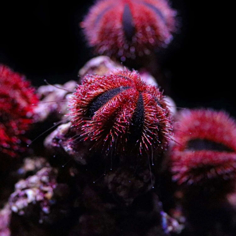 Biota Captive Bred Tuxedo Sea Urchin