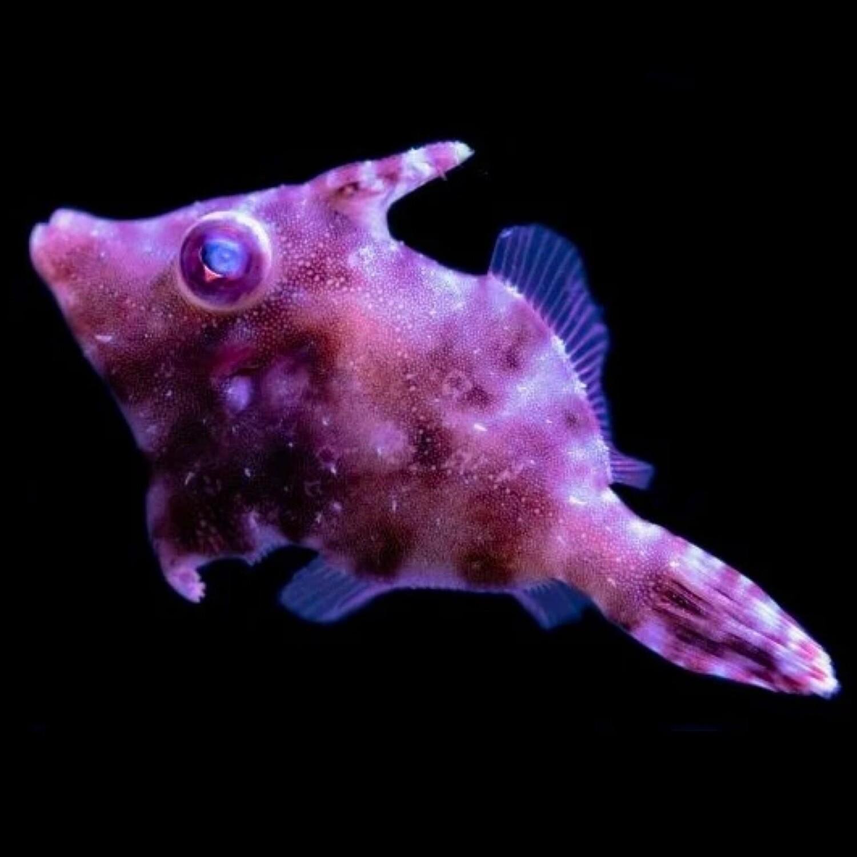 Biota Captive-Bred Aiptasia Eating Filefish Sm