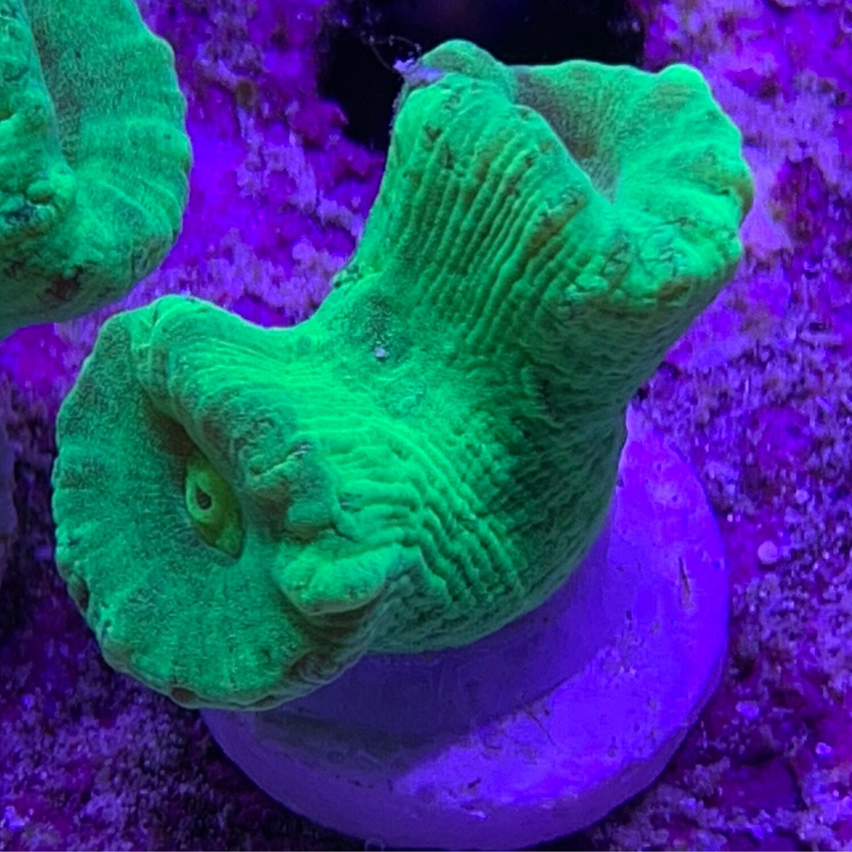 Toxic green Candy Cane frag