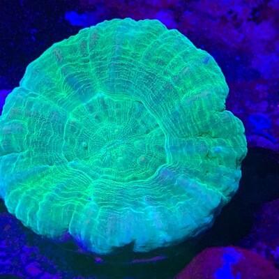 Aussie Green Scolymia