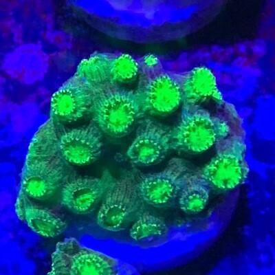 Nuclear green Cyphastrea frag