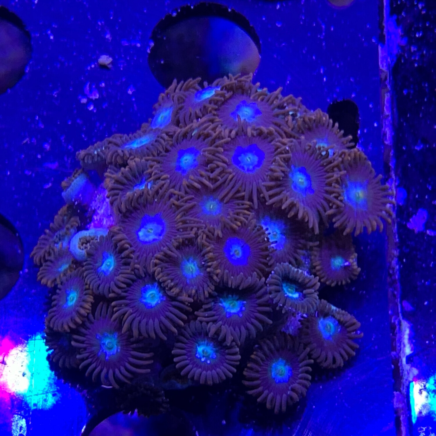 Fire and Ice Zoa colony