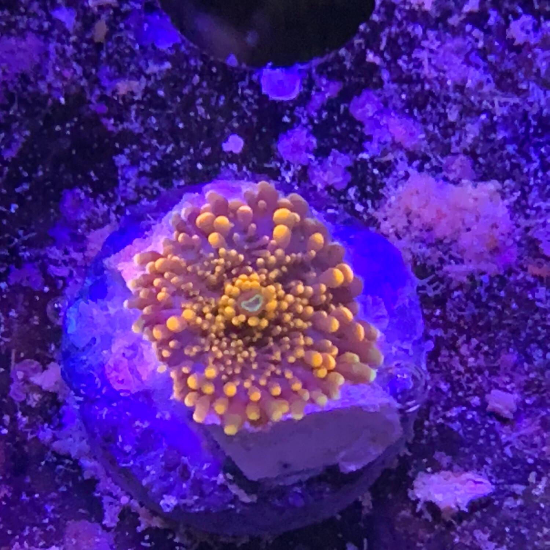 Bright Yuma mushroom small