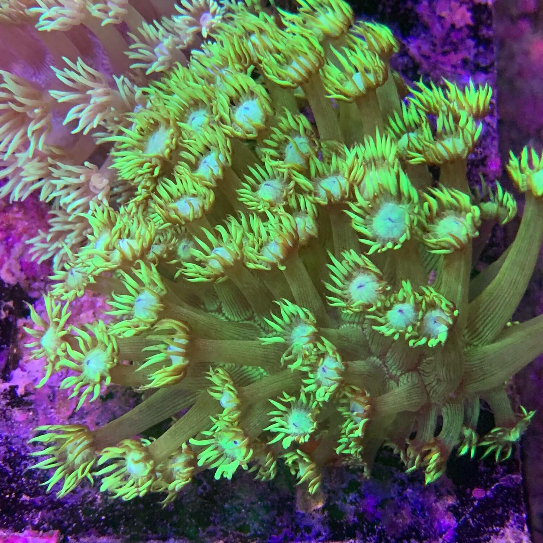 Neon Green Goniopora 2