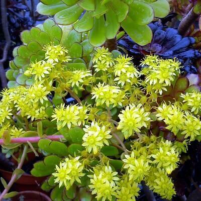 Aeonium arboreum green