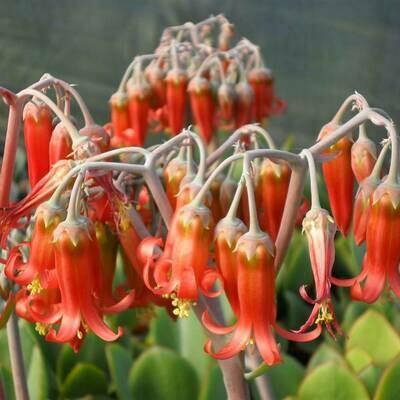 Cotyledon orbiculata 'macrantha'