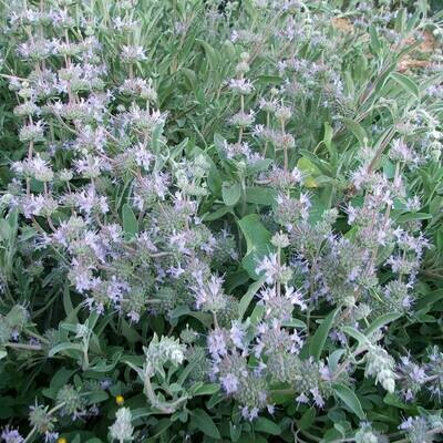 Salvia x 'Bees Bliss'