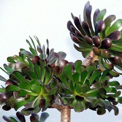Aeonium arboreum 'Atropurpureum'