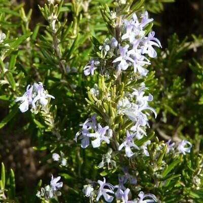 Salvia rosmarinus 'Miss Jessopp's Upright''