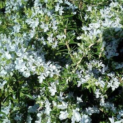 Salvia rosmarinus prostratus